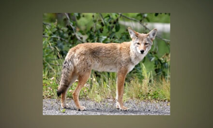 Coyote Sightings Normal for North Texas