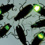 Fireflies Light Up Parks, Green Spaces in Fall Appearance